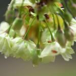 【東京春景色】黄緑色の花を咲かせる桜がある!?日比谷公園脇の日比谷通り沿いに咲いている鬱金桜を撮影してみた
