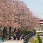 【Tokyo Train Story】隅田川沿いの桜の散り始め(東武スカイツリーライン)