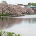 【東京春景色】上野公園と不忍池の桜もそろそろ終わりだねって時期もまた風情あり