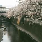 【東京春景色】Rollei B35で撮影した目黒川、千鳥ヶ淵などの東京の桜がある風景【フィルムカメラ】