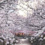 【東京春景色】明るい時間帯の目黒川お花見さんぽも様々な桜の表情が見ることができて撮影が楽しい!