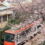【Tokyo Train Story】桜の木の下を駆け抜けるオレンジの都電荒川線