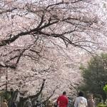 今週の365 DAYS OF TOKYO(4月11日~4月17日) ~ 日暮里と谷中の桜が満開な頃