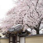 今週の365 DAYS OF TOKYO(4月18日~4月24日) ~ 谷中の桜の満開から散り始めまで