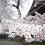 【東京春景色】立派な桜の木が何本かある寛永寺境内は穴場のお花見散歩スポット