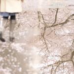 【東京春景色】雨上がりの谷中霊園で桜と水たまりがある風景を撮影してみた!