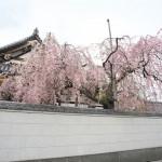 【東京春景色】谷中の自性院(愛染寺)にあるみごとな枝垂れ桜を見るならまさに今!