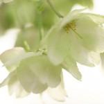 【東京春景色】谷中霊園で黄緑色の桜を探せ!ソメイヨシノの次は鬱金桜が見頃になっています!