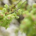 【東京春景色】旧芝離宮恩賜庭園で緑の花が咲く御衣黄(ぎょいこう)という桜が見頃を迎えています