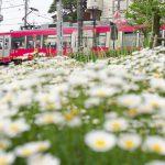 【Tokyo Train Story】花がいっぱいの東急世田谷線沿線風景