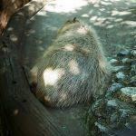 【フィルムカメラ】5月4日は上野公園の無料開放日 Rollei B35でカピバラやミナミコアリクイなどの動物を撮影してきた!
