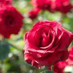 平成28年(2016年)5月7日(土)から5月31日(火)まで旧古河庭園で「春のバラフェスティバル」が開催 こんなにたくさんの美しいバラが楽しめますよ!