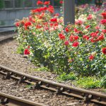 【Tokyo Train Story】カーブを描く線路と春のバラ(都電荒川線)