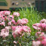 【Tokyo Train Story】都電荒川線沿線のバラ