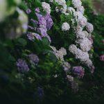 西日暮里の諏方神社は隠れた紫陽花の名所!Nikon FM2で境内に咲くたくさんの紫陽花を撮影してみた【フィルムカメラ】