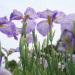 葛飾区の堀切菖蒲園で開催されている葛飾菖蒲まつりでは想像以上の花菖蒲が咲いている様子が圧巻過ぎる!