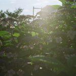 【フィルムカメラ】日暮里と谷中の紫陽花が咲く路地裏風景をNikon FM2で撮影してみた