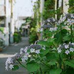 【フィルムカメラ】Nikon FM2で撮る梅雨の路地裏風景 谷中の紫陽花編