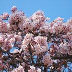 1月なのに桜が咲いている!上野公園内のカンザクラで一足早くお花見ができちゃいますよ! #地域ブログ