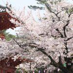 埼玉県川越市にある喜多院でお花見散歩 桜が咲き誇る境内は一見の価値あり #地域ブログ #Locketsリレー #桜