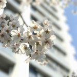 東京でも桜が満開!iPhone 7 Plusのポートレートモードなどで桜景色を撮影してみた #地域ブログ #Locketsリレー #桜