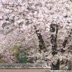 埼玉県川越市にある中院の桜もみごとだった!塀際の桜のトンネルもぜひ歩いてください #地域ブログ #Locketsリレー #桜