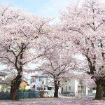 川越城跡周辺だと特に三芳野神社の桜がお勧め 地面から顔を出しているタケノコにも注目ですよ #地域ブログ #Locketsリレー #桜