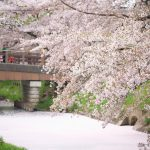 川越氷川神社の裏手を流れる新河岸川は桜の名所 散り始めの時期はみごとな花筏も見ることができます #地域ブログ #Locketsリレー #桜