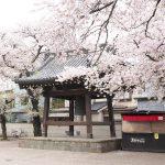埼玉県川越市にある蓮馨寺の桜 境内には濃縮された桜の風景がありました #地域ブログ #Locketsリレー #桜
