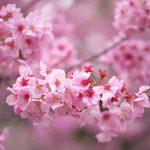 日暮里、谷中、上野公園でお花見散歩 満開の桜を撮るのはやっぱり楽しい! #地域ブログ #Locketsリレー #桜