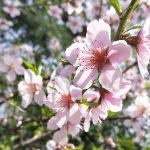OPPO R11sで東京都荒川区内某所の桃の花を撮ってみた #地域ブログ #荒川区 #撮らずにはいられない #OPPOカメラフォン