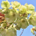 ベビーカーで皇居東御苑を散策してきた 緑の花の御衣黄(ギョイコウ)という桜も咲いています #Locketsリレー2018春