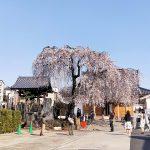 桜の時期の台東区谷中のお勧めスポット 長明寺の枝垂れ桜が満開です #地域ブログ #谷中 #撮らずにはいられない #OPPOカメラフォン