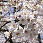 桜咲く春景色の中、天王洲アイルから品川までOPPO R11sをお供にフォトウォークしてみた #撮らずにはいられない #OPPOカメラフォン #Locketsリレー2018春