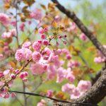 上野公園ではイチヨウ、カンザンなどの八重桜が見頃です! #地域ブログ #上野 #Locketsリレー2018春