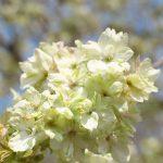 谷中霊園内の鬱金桜(ウコンザクラ)がみごとな緑の花を咲かせています #地域ブログ #谷中 #Locketsリレー2018春