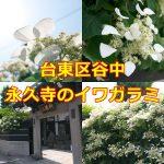 東京都台東区谷中 永久寺のイワガラミ #地域ブログ #谷中