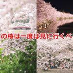 青森県弘前市にある弘前公園の桜は最高に美しいので、ぜひ一度は見に行くべしです