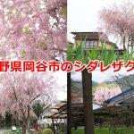 長野県岡谷市の東堀正八幡宮の近くでみごとなシダレザクラを撮影してみた #諏訪の国公式アンバサダー