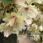 東京都台東区谷中の谷中霊園には毎年4月中旬に黄緑の花が咲く鬱金桜があります(動画あり)