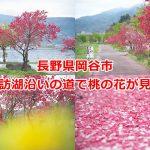 長野県岡谷市の諏訪湖沿いの道で桃の花が見頃 #諏訪の国公式アンバサダー