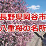 長野県岡谷市にある八重桜の名所 #諏訪の国公式アンバサダー